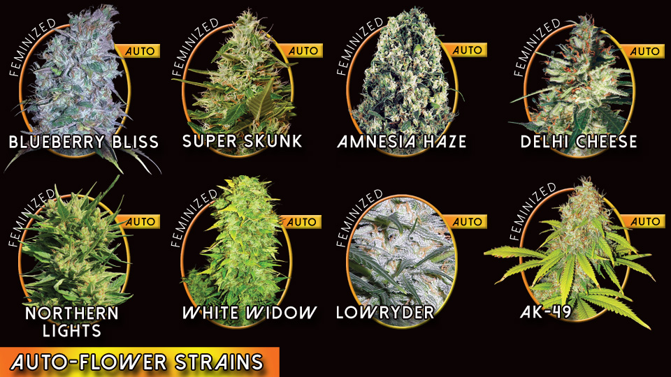 Vision Seeds Autoflower Strains