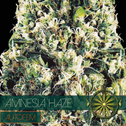 AMNESIA HAZE AUTOFLOWER CANNABIS STRAIN BY VISION SEEDS