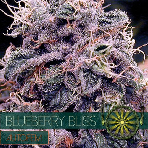 BLUEBERRY BLISS AUTOFLOWER CANNABIS STRAIN BY VISION SEEDS
