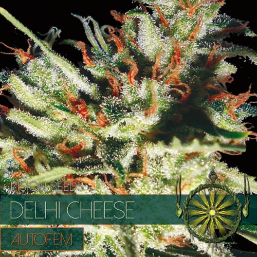 DELHI CHEESE AUTOFLOWER CANNABIS STRAIN BY VISION SEEDS