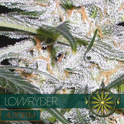 LOWRYDER AUTOFLOWER CANNABIS STRAIN BY VISION SEEDS