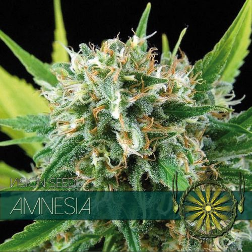 AMNESIA FEMINIZED CANNABIS STRAIN BY VISION SEEDS