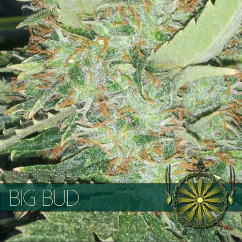 BIG BUD FEMINIZED CANNABIS STRAIN BY VISION SEEDS