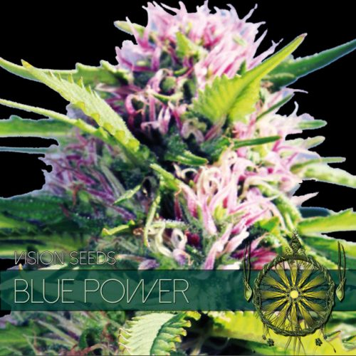 BLUE POWER FEMINIZED CANNABIS STRAIN BY VISION SEEDS