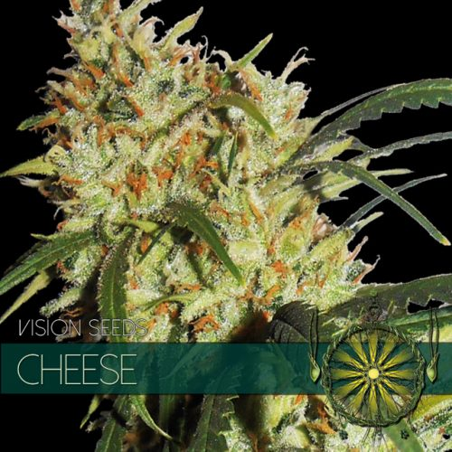 CHEESE FEMINIZED CANNABIS STRAIN BY VISION SEEDS