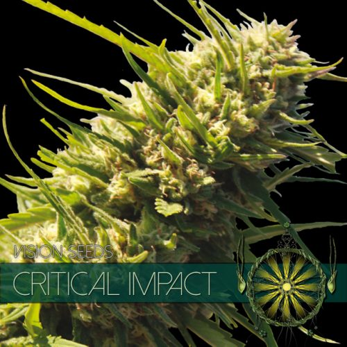CRITICAL IMPACT FEMINIZED CANNABIS STRAIN BY VISION SEEDS