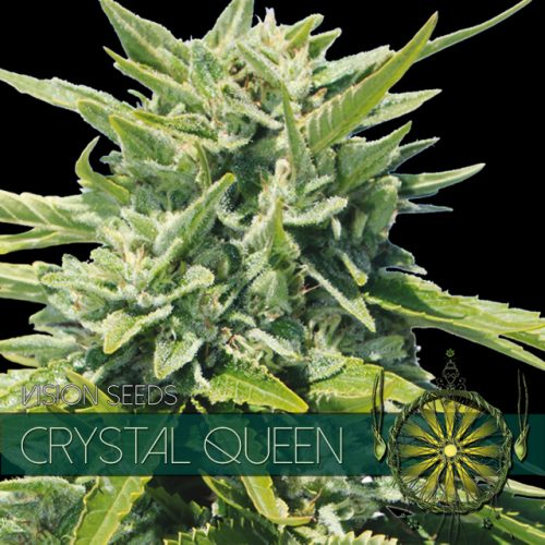 CRYSTAL QUEEN FEMINIZED CANNABIS STRAIN BY VISION SEEDS