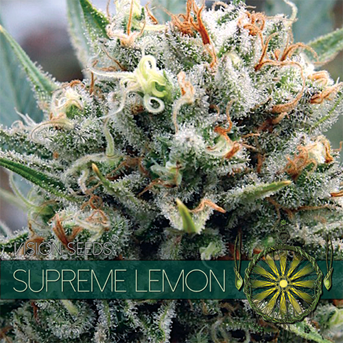 Supreme Lemon Vision Seeds: planting lemon seeds for smell