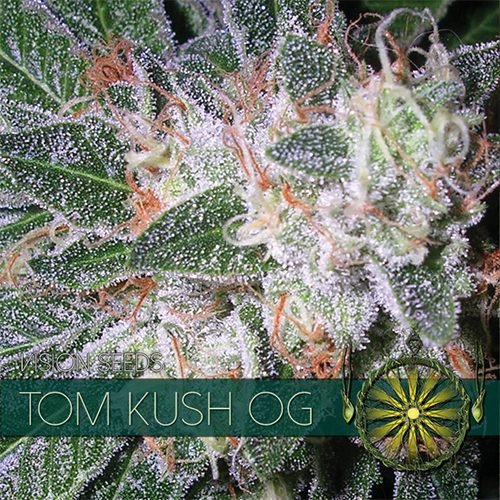 Tom Kush OG - Vision Seeds